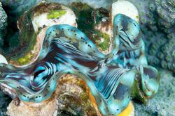 BD-130402-Tulamben-9217-Tridacna-squamosa.-Lamarck.-1819-[Fluted-giant-clam].jpg
